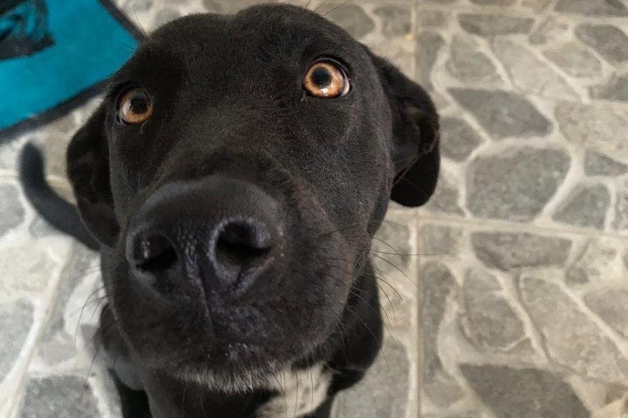 Cadela foge de casa em Guarujá e tutora pede ajuda nas redes sociais após uma semana