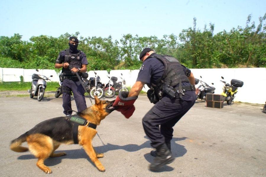 Cães da GCM de São Vicente começam a ser treinados para operações   Santa Portal